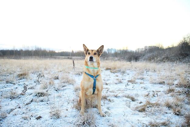 Retrato de cachorro vira-lata de cabelos vermelhos feliz andando no campo ensolarado de inverno.