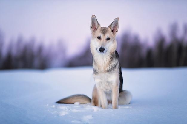 Retrato de cachorro vira-lata feliz correndo e olhando para a câmera em um campo de inverno ao entardecer.