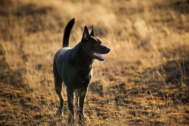 Retrato de cachorro vira-lata preto grande bonito andando no prado de outono.
