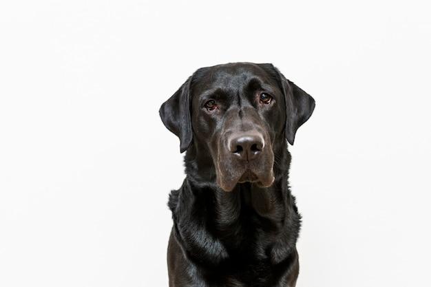Retrato de cachorro. vista frontal. labrador preto sobre fundo branco