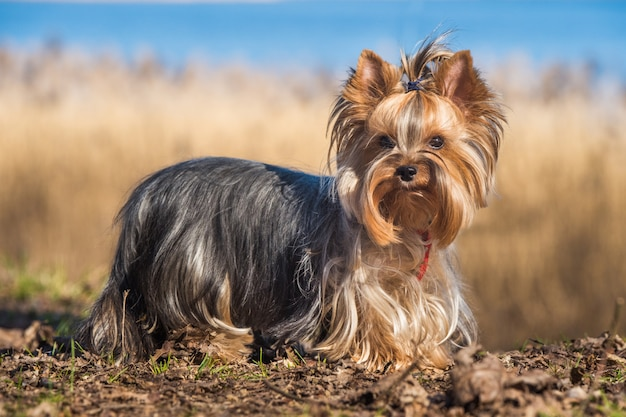 Retrato de cachorro yorkshire terrier