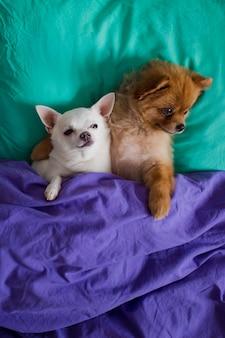 Retrato de cachorros engraçados e felizes abraçando deitado no travesseiro sob o cobertor