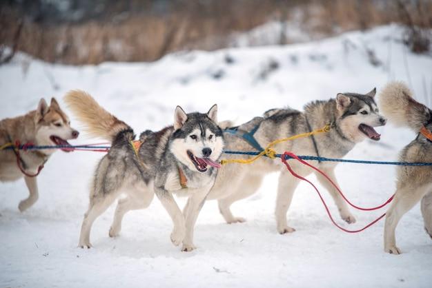 Retrato de cães husky siberiano no inverno