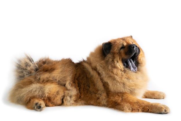 Retrato de cão chow chow bocejando sentado no chão, isolado no branco