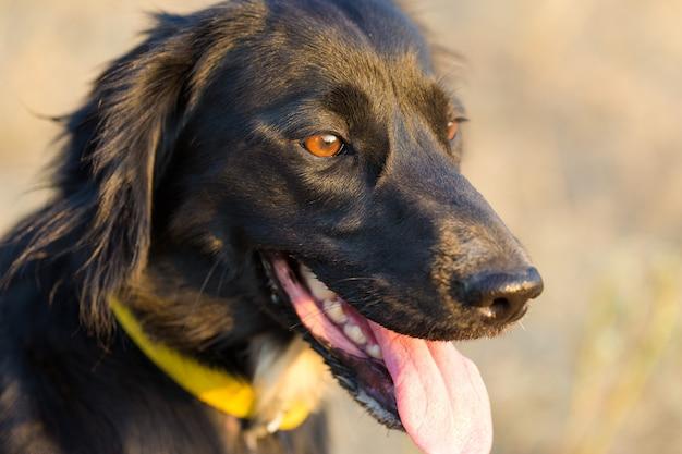 Retrato de cão de caça spaniel