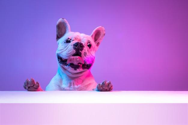 Retrato de cão de raça pura bulldog posando isolado sobre o fundo do estúdio em neon gradiente rosa roxo