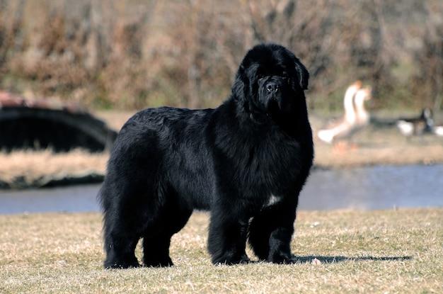 Retrato de cão de raça pura terra nova