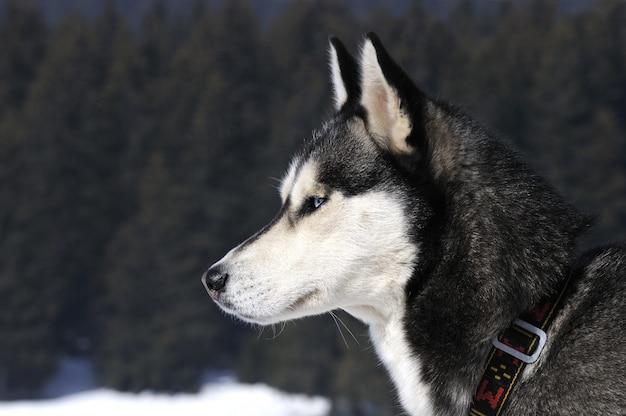 Retrato de cão desportivo no inverno