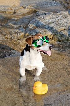 Retrato, de, cão, em, óculos natação, e, flippers