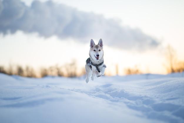 Retrato de cão feliz raça misturada correndo e olhando para a câmera em um campo de inverno ao amanhecer.