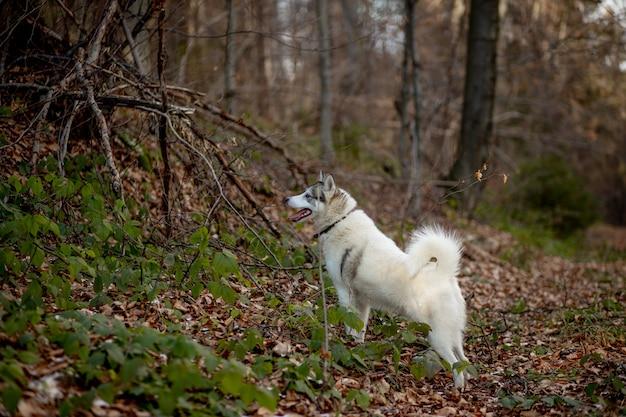 Retrato de cão louco e feliz, raça husky siberiano com a língua para fora, correndo na floresta amarela brilhante de outono