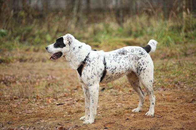 Retrato de cão pastor da ásia central ao ar livre