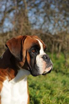 Retrato, de, cão, raça, pugilista