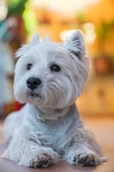 Retrato de cão terrier branco posando