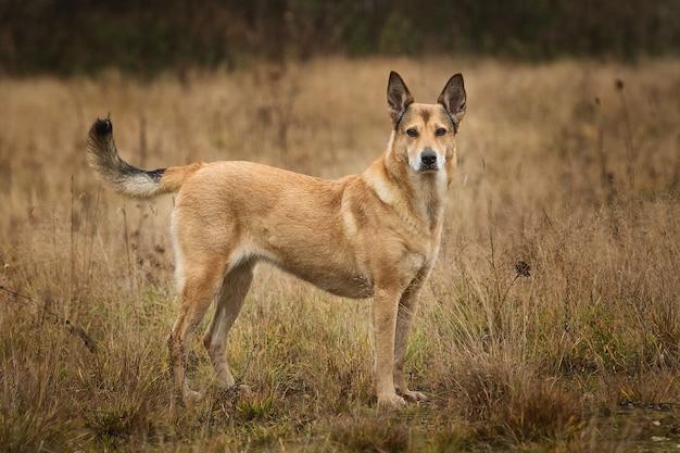 Retrato de cão vermelho sem raça definida em um campo olhando para a câmera