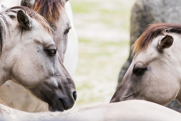 Retrato, de, cavalo, tarpan, ligado, a, exterior