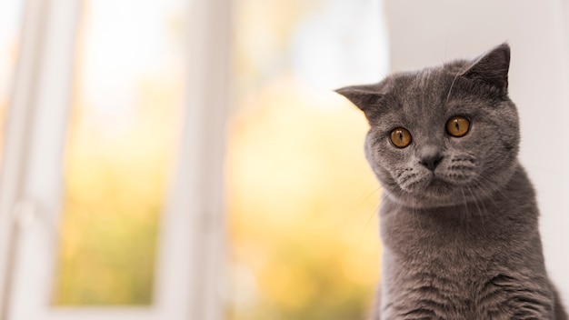 Retrato, de, cinzento, britânico, shorthair, gato