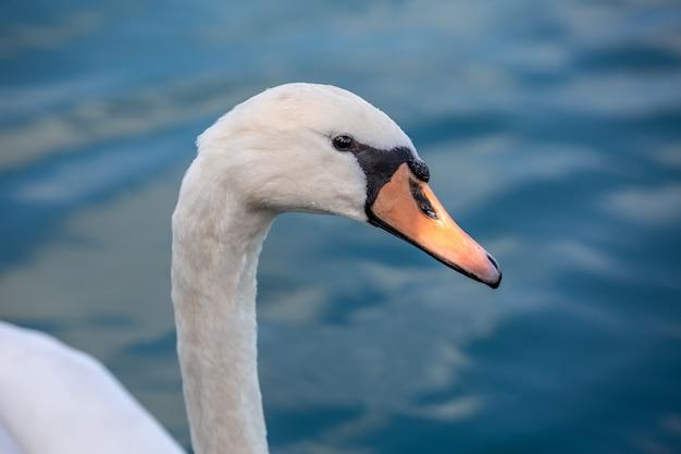Retrato de cisne branco em alto mar