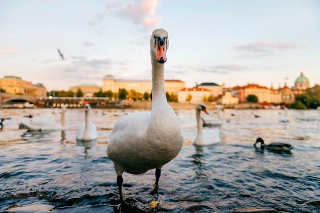 Retrato de cisne em pé no rio praga