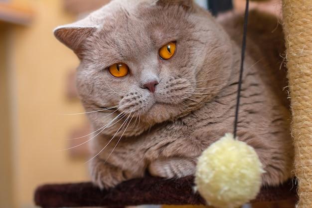 Retrato de close-up britânico gato lilás de pêlo curto
