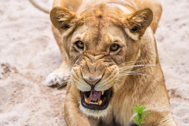 Retrato de close-up de leoa, rosto de um leão feminino