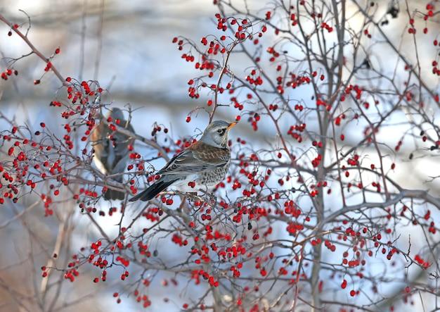 Retrato de close-up de the fieldfare (turdus pilaris) sentado nos galhos de espinheiro com bagas vermelhas brilhantes
