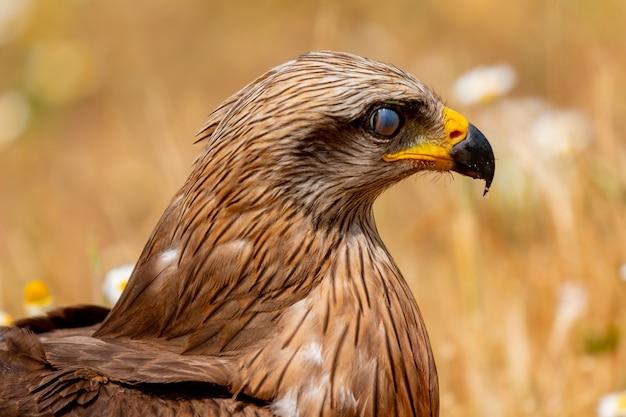 Retrato de close-up de uma pipa marrom