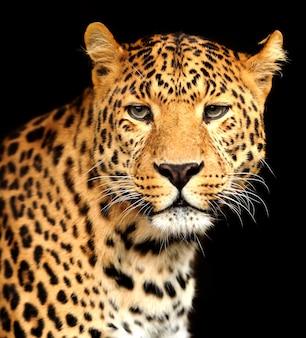 Retrato de close-up do lindo leopardo