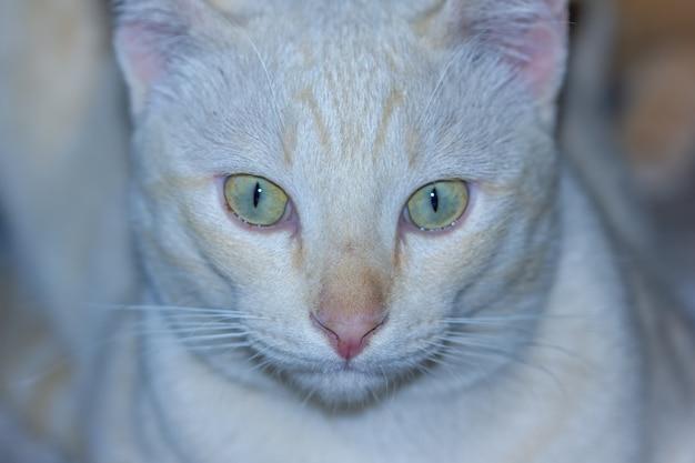 Retrato de closeup cabeça de gato
