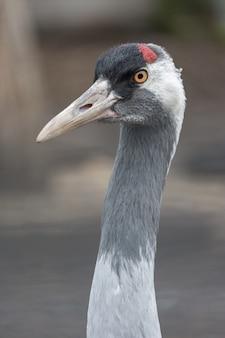 Retrato de closeup grua cinza