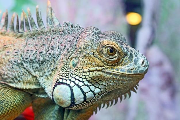 Retrato de closeup iguana verde. animais selvagens
