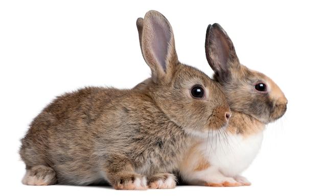 Retrato de coelhos europeus sentado