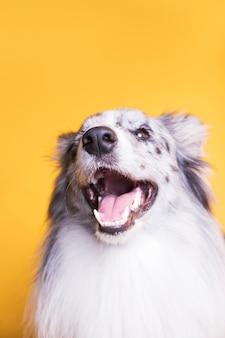 Retrato, de, collie beira, cão