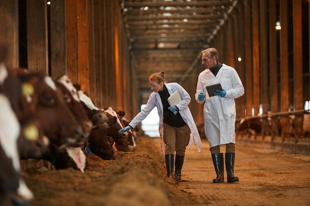 Retrato de corpo inteiro de dois veterinários caminhando em direção à câmera enquanto inspecionam vacas na fazenda de gado leiteiro, copie o espaço