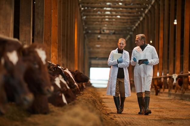 Retrato de corpo inteiro de dois veterinários no galpão de vacas, caminhando em direção à câmera enquanto inspecionam o gado na fazenda, copie o espaço