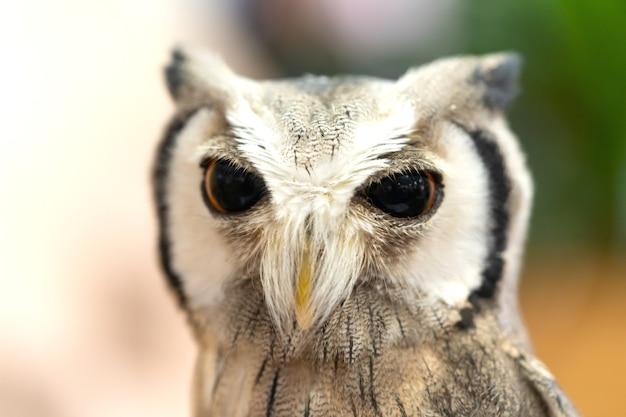 Retrato de coruja de rosto branco de olhos grandes.