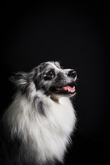 Retrato, de, cute, border collie, cão