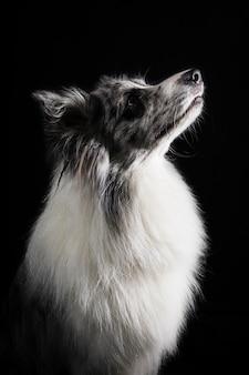 Retrato, de, cute, border collie, cão