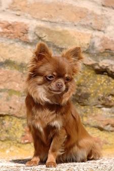 Retrato, de, cute, chihuahua, cão