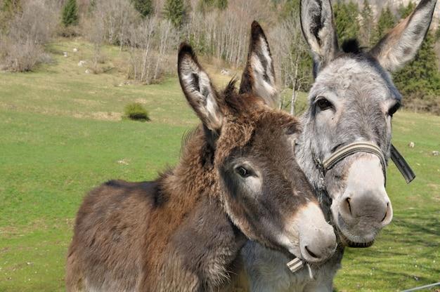 Retrato, de, dois, burros