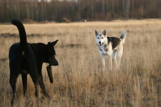 Retrato de dois cães fofos sem raça definida, correndo para a frente no ensolarado prado de outono.