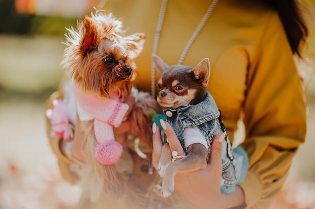 Retrato de dois cães pequenos em roupas de moda, sentado nas mãos da mulher. tempo de outono
