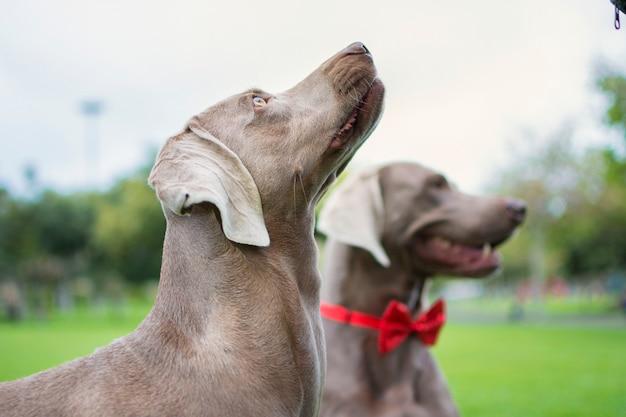 Retrato de dois cães weimaraner, olhando para cima no parque, na grama verde.