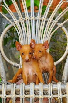 Retrato, de, dois, cirneco dell, etna, filhotes cachorro
