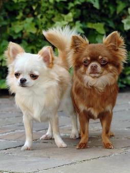 Retrato, de, dois, cute, chihuahua, cachorros