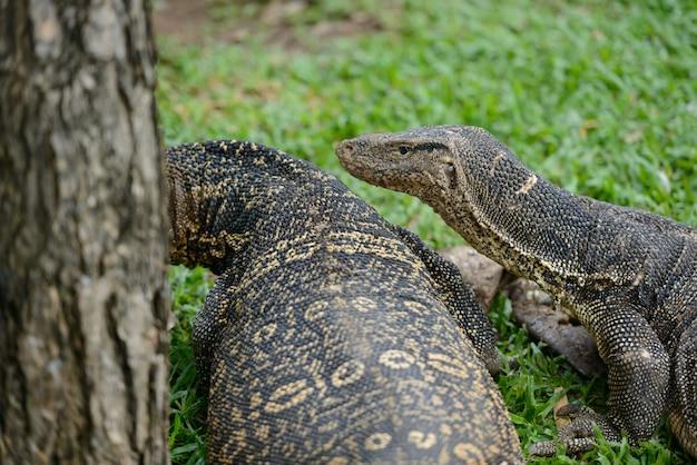 Retrato de dois lagartos-monitores de água caminhando juntos na grama no parque