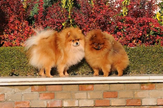 Retrato, de, dois, pomeranian, cachorros