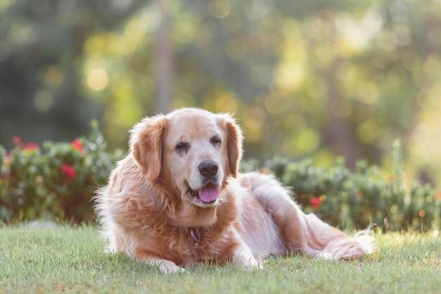 Retrato, de, dourado, retriver, cão