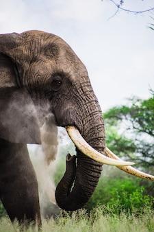 Retrato de elefante africano selvagem
