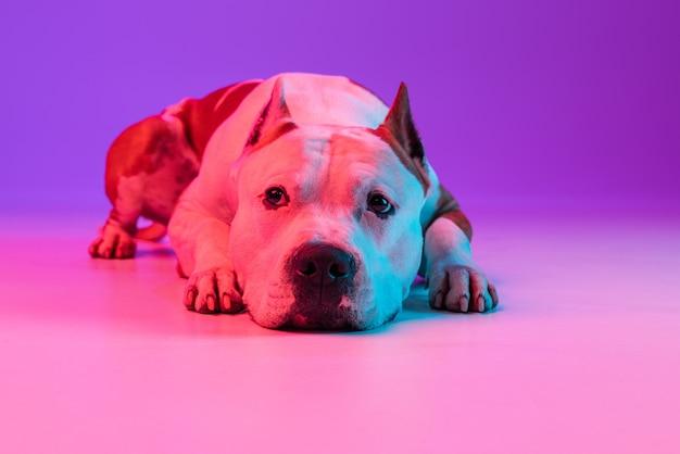 Retrato de engraçado animal de estimação ativo, bonito cão staffordshire terrier posando isolado sobre a parede do estúdio em néon.